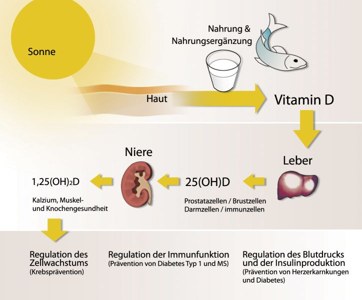 Vitamin D - Synthese & Wirkung