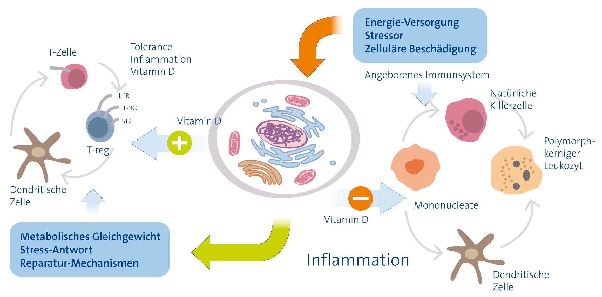 Vitamin D und das Immunsystem